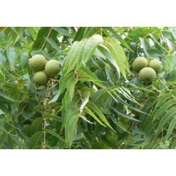 Walnut essential oil 50ml