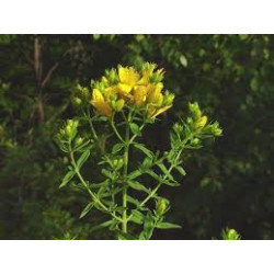 Balsam Essential Oil 50ml