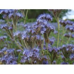 Seeds California bluebell