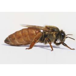 bee queens